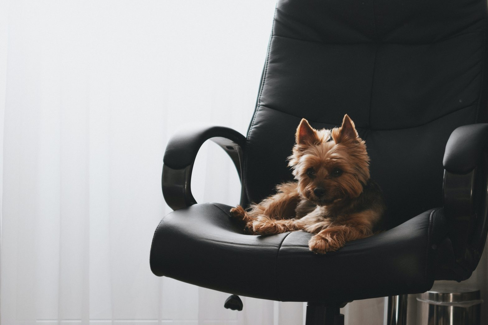 yorkie in office chair